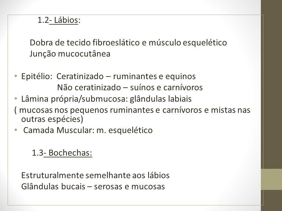 1.2- Lábios: Dobra de tecido fibroeslático e músculo esquelético Junção mucocutânea Epitélio: Ceratinizado – ruminantes e equinos Não ceratinizado – suínos e carnívoros Lâmina própria/submucosa: glândulas labiais ( mucosas nos pequenos ruminantes e carnívoros e mistas nas outras espécies) Camada Muscular: m.