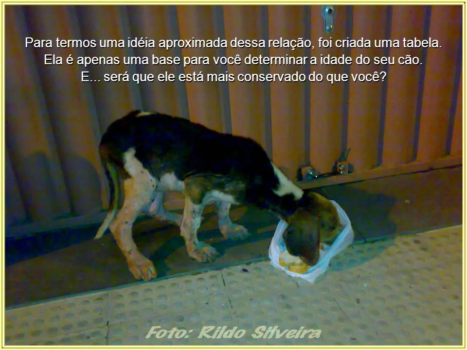 O conhecimento da idade do cão em relação à idade humana nos ajuda a entender melhor o comportamento de nossos animais.