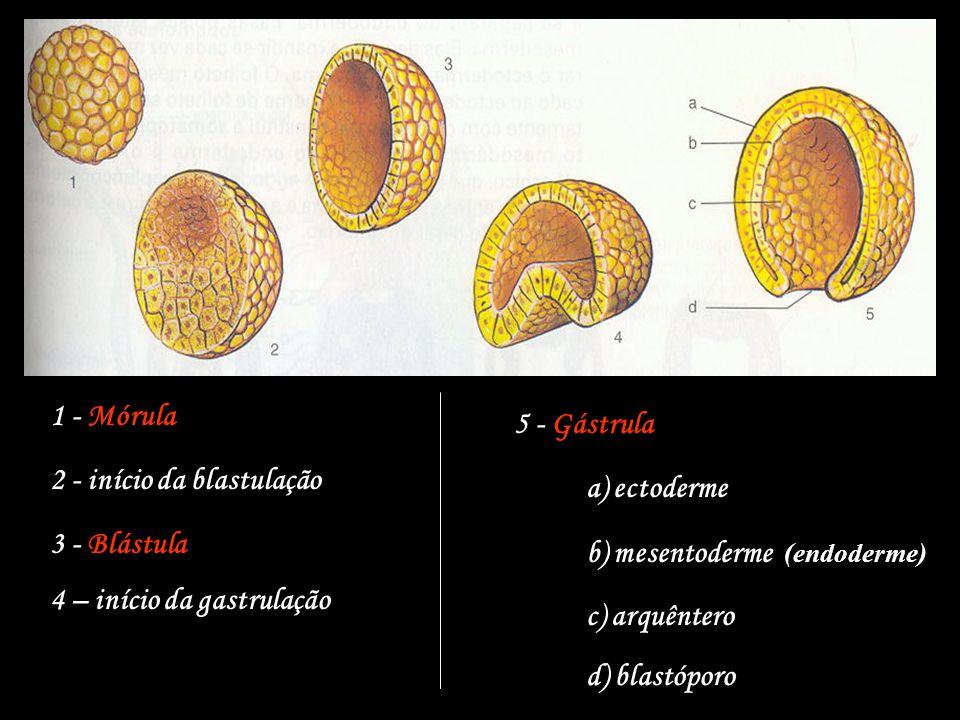 1 - Mórula 2 - início da blastulação 3 - Blástula 4 – início da gastrulação 5 - Gástrula a) ectoderme b) mesentoderme (endoderme) c) arquêntero d) bla