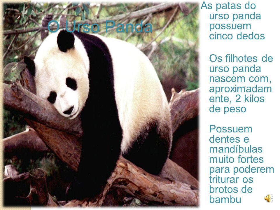 O Urso Panda As patas do urso panda possuem cinco dedos Os filhotes de urso panda nascem com, aproximadam ente, 2 kilos de peso Possuem dentes e mandíbulas muito fortes para poderem triturar os brotos de bambu