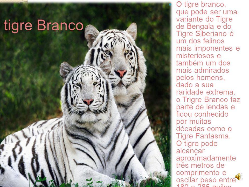 O tigre Branco O tigre branco, que pode ser uma variante do Tigre de Bengala e do Tigre Siberiano é um dos felinos mais imponentes e misteriosos e também um dos mais admirados pelos homens, dado a sua raridade extrema.