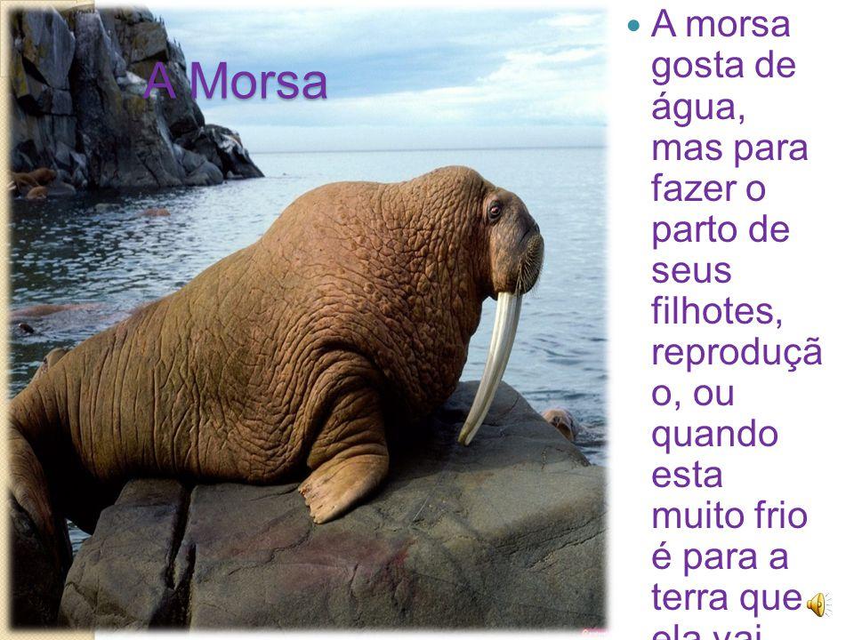 A Morsa A morsa gosta de água, mas para fazer o parto de seus filhotes, reproduçã o, ou quando esta muito frio é para a terra que ela vai.