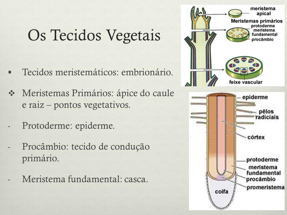 Os Tecidos Vegetais Tecidos meristemáticos: embrionário. Meristemas Primários: ápice do caule e raiz – pontos vegetativos. - Protoderme: epiderme. - P