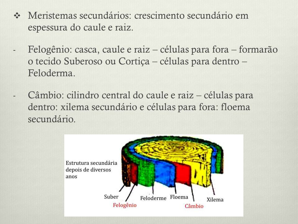 Meristemas secundários: crescimento secundário em espessura do caule e raiz. - Felogênio: casca, caule e raiz – células para fora – formarão o tecido