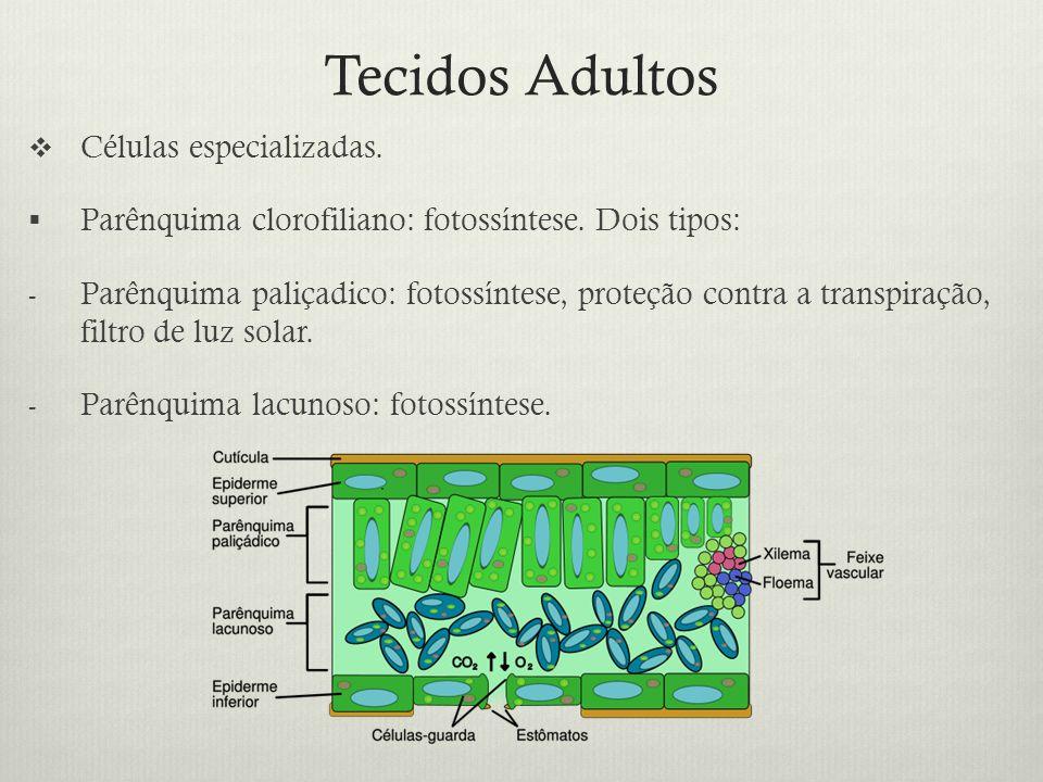 Tecidos Adultos Células especializadas. Parênquima clorofiliano: fotossíntese. Dois tipos: - Parênquima paliçadico: fotossíntese, proteção contra a tr