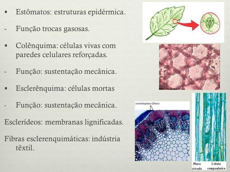 Estômatos: estruturas epidérmica. - Função trocas gasosas. Colênquima: células vivas com paredes celulares reforçadas. - Função: sustentação mecânica.