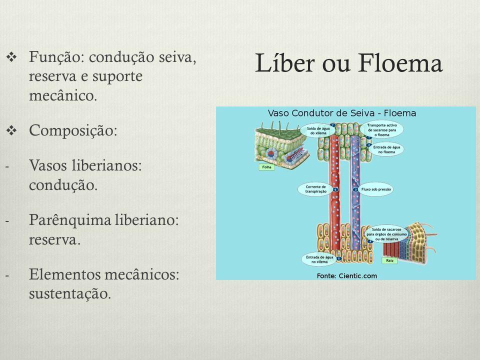 Líber ou Floema Função: condução seiva, reserva e suporte mecânico. Composição: - Vasos liberianos: condução. - Parênquima liberiano: reserva. - Eleme