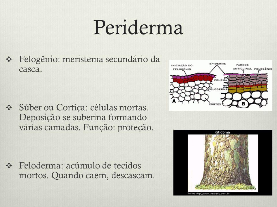 Periderma Felogênio: meristema secundário da casca. Súber ou Cortiça: células mortas. Deposição se suberina formando várias camadas. Função: proteção.