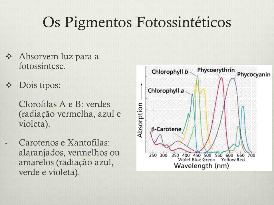 Os Pigmentos Fotossintéticos Absorvem luz para a fotossíntese. Dois tipos: - Clorofilas A e B: verdes (radiação vermelha, azul e violeta). - Carotenos