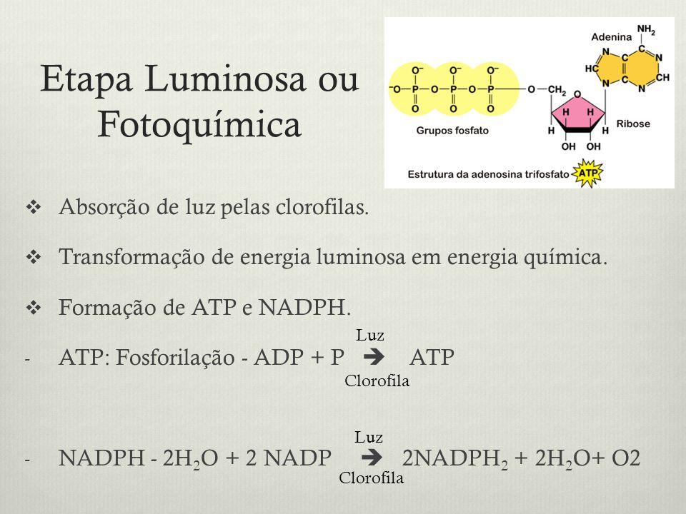Etapa Luminosa ou Fotoquímica Absorção de luz pelas clorofilas. Transformação de energia luminosa em energia química. Formação de ATP e NADPH. - ATP: