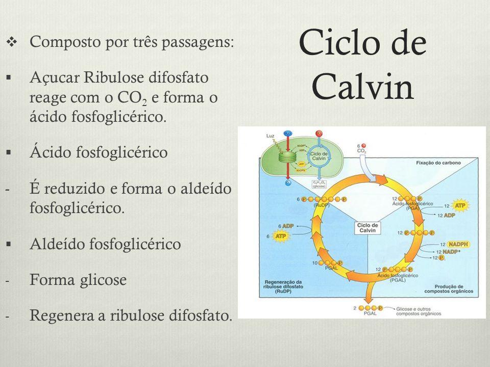 Ciclo de Calvin Composto por três passagens: Açucar Ribulose difosfato reage com o CO 2 e forma o ácido fosfoglicérico. Ácido fosfoglicérico - É reduz