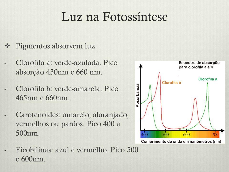 Luz na Fotossíntese Pigmentos absorvem luz. - Clorofila a: verde-azulada. Pico absorção 430nm e 660 nm. - Clorofila b: verde-amarela. Pico 465nm e 660