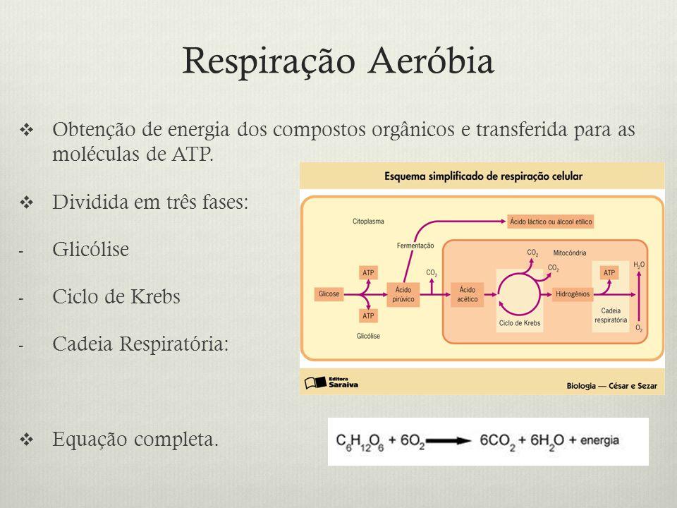 Respiração Aeróbia Obtenção de energia dos compostos orgânicos e transferida para as moléculas de ATP. Dividida em três fases: - Glicólise - Ciclo de