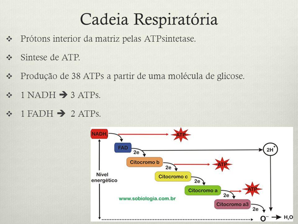 Cadeia Respiratória Prótons interior da matriz pelas ATPsintetase. Síntese de ATP. Produção de 38 ATPs a partir de uma molécula de glicose. 1 NADH 3 A