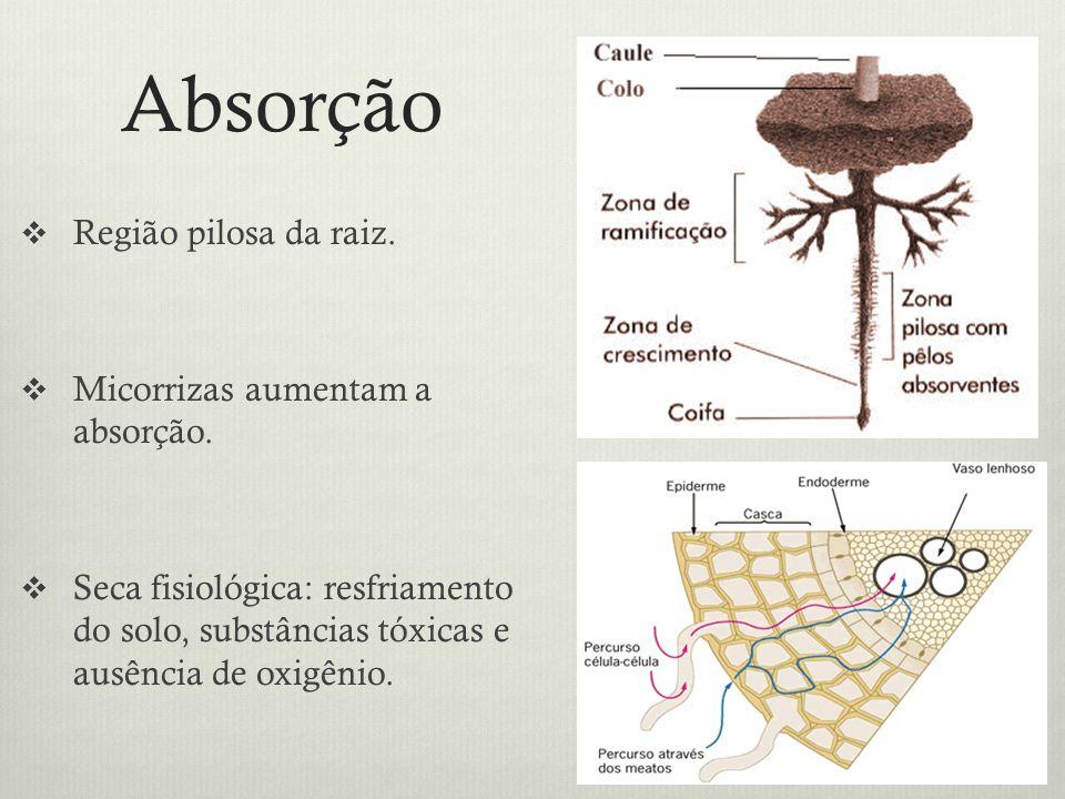 Absorção Região pilosa da raiz. Micorrizas aumentam a absorção. Seca fisiológica: resfriamento do solo, substâncias tóxicas e ausência de oxigênio.