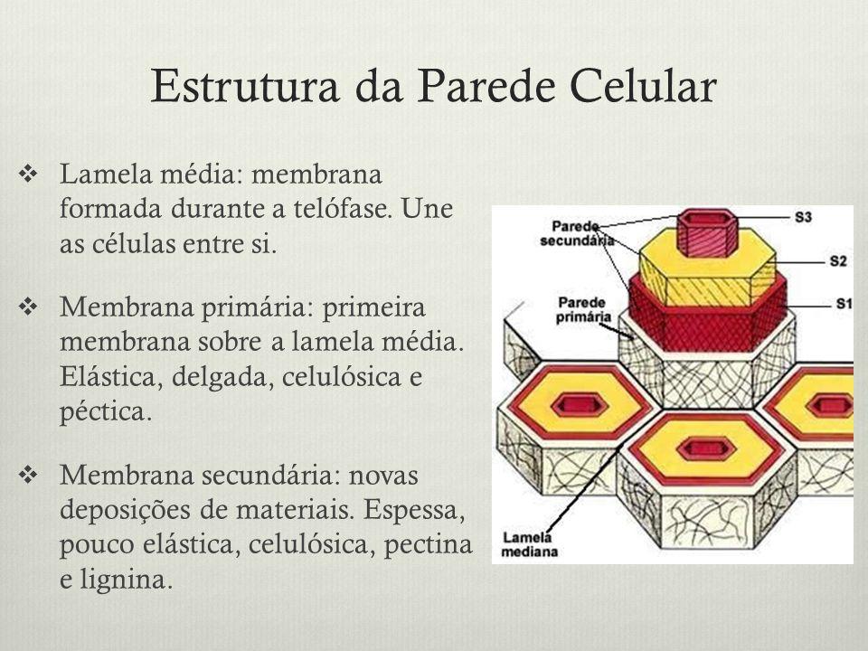 Estrutura da Parede Celular Lamela média: membrana formada durante a telófase. Une as células entre si. Membrana primária: primeira membrana sobre a l