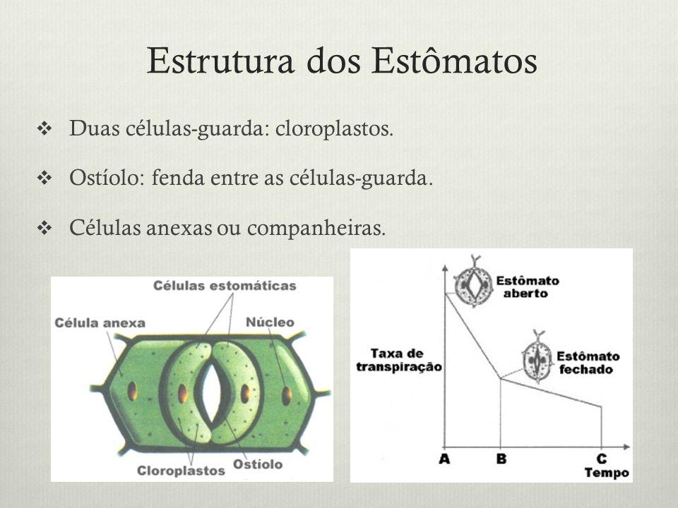 Estrutura dos Estômatos Duas células-guarda: cloroplastos. Ostíolo: fenda entre as células-guarda. Células anexas ou companheiras.
