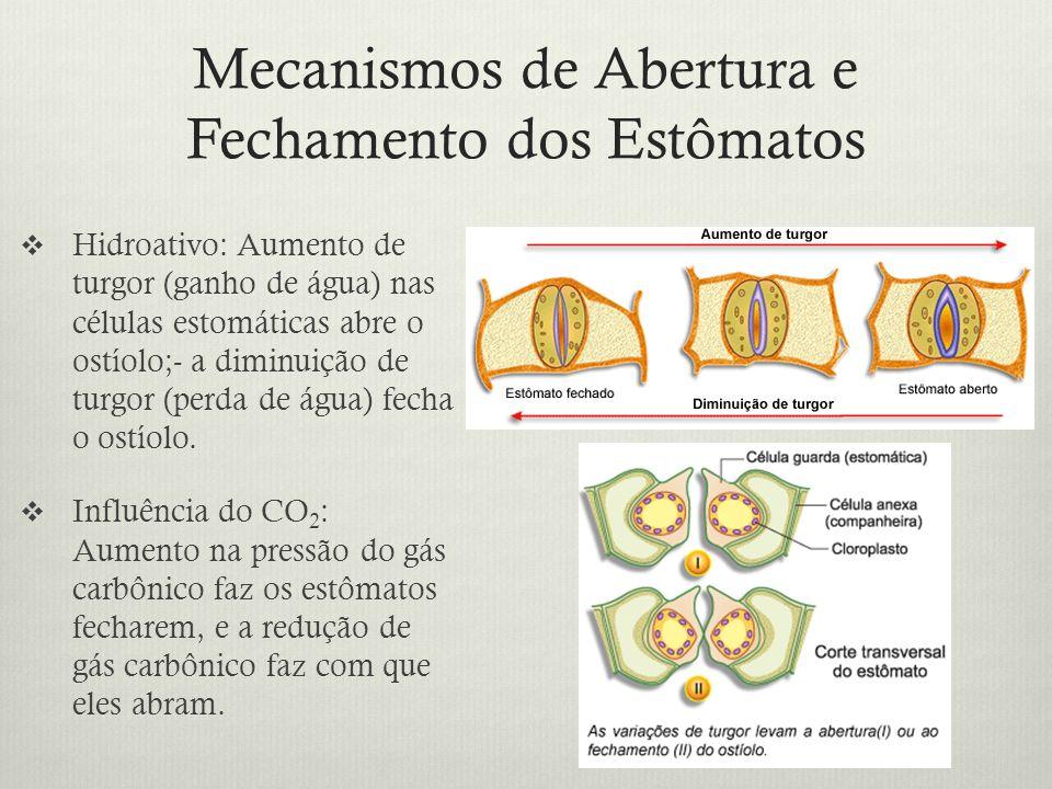 Mecanismos de Abertura e Fechamento dos Estômatos Hidroativo: Aumento de turgor (ganho de água) nas células estomáticas abre o ostíolo;- a diminuição