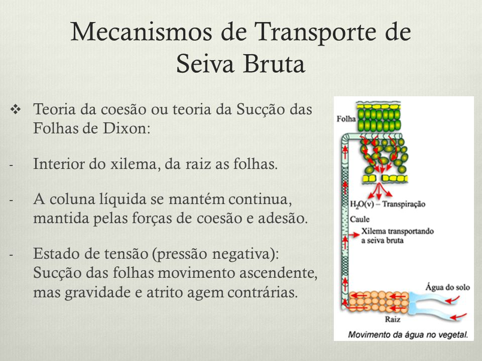 Mecanismos de Transporte de Seiva Bruta Teoria da coesão ou teoria da Sucção das Folhas de Dixon: - Interior do xilema, da raiz as folhas. - A coluna