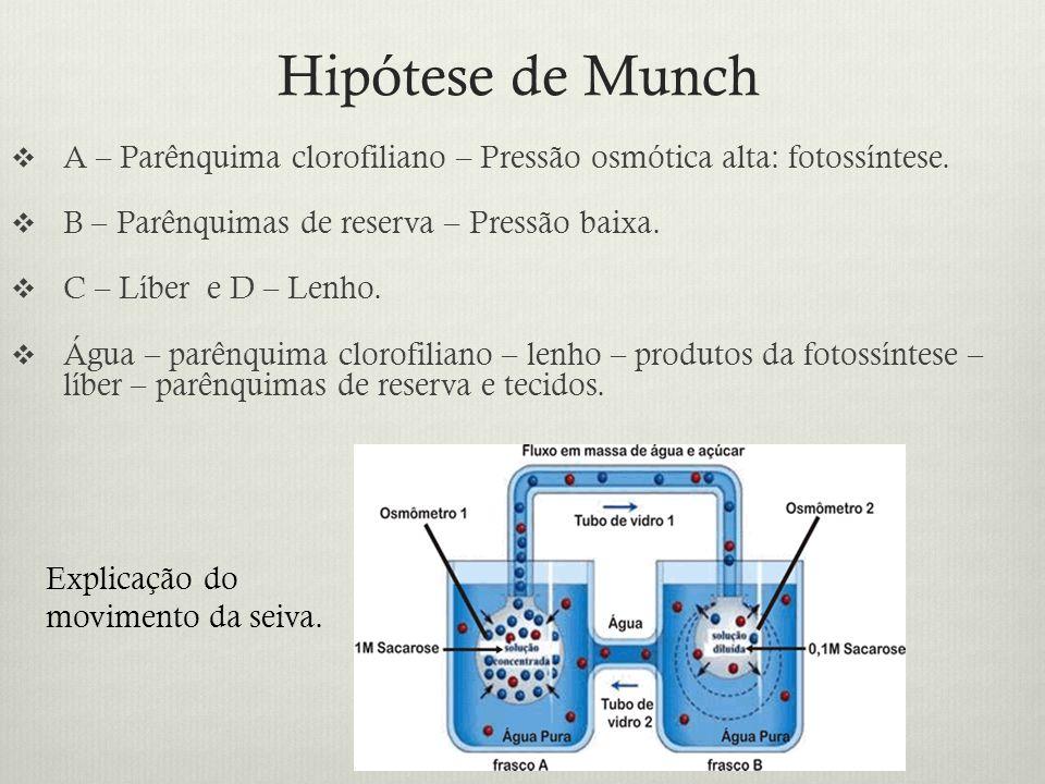 Hipótese de Munch A – Parênquima clorofiliano – Pressão osmótica alta: fotossíntese. B – Parênquimas de reserva – Pressão baixa. C – Líber e D – Lenho