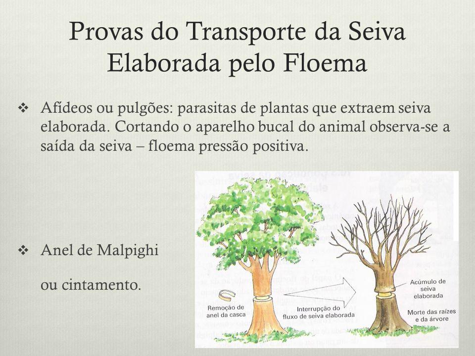 Provas do Transporte da Seiva Elaborada pelo Floema Afídeos ou pulgões: parasitas de plantas que extraem seiva elaborada. Cortando o aparelho bucal do