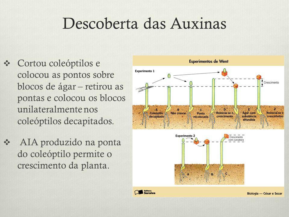 Descoberta das Auxinas Cortou coleóptilos e colocou as pontos sobre blocos de ágar – retirou as pontas e colocou os blocos unilateralmente nos coleópt