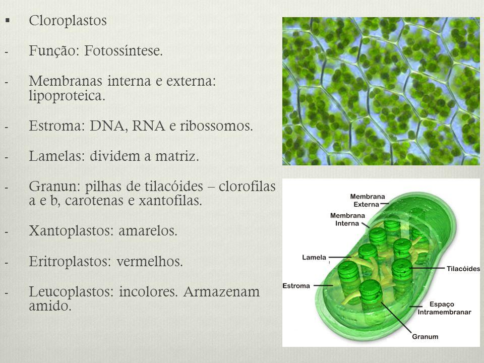 Cloroplastos - Função: Fotossíntese. - Membranas interna e externa: lipoproteica. - Estroma: DNA, RNA e ribossomos. - Lamelas: dividem a matriz. - Gra