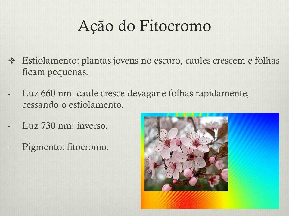 Ação do Fitocromo Estiolamento: plantas jovens no escuro, caules crescem e folhas ficam pequenas. - Luz 660 nm: caule cresce devagar e folhas rapidame
