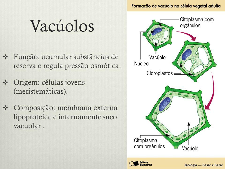 Vacúolos Função: acumular substâncias de reserva e regula pressão osmótica. Origem: células jovens (meristemáticas). Composição: membrana externa lipo