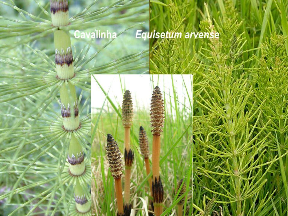 Cavalinha Equisetum arvense