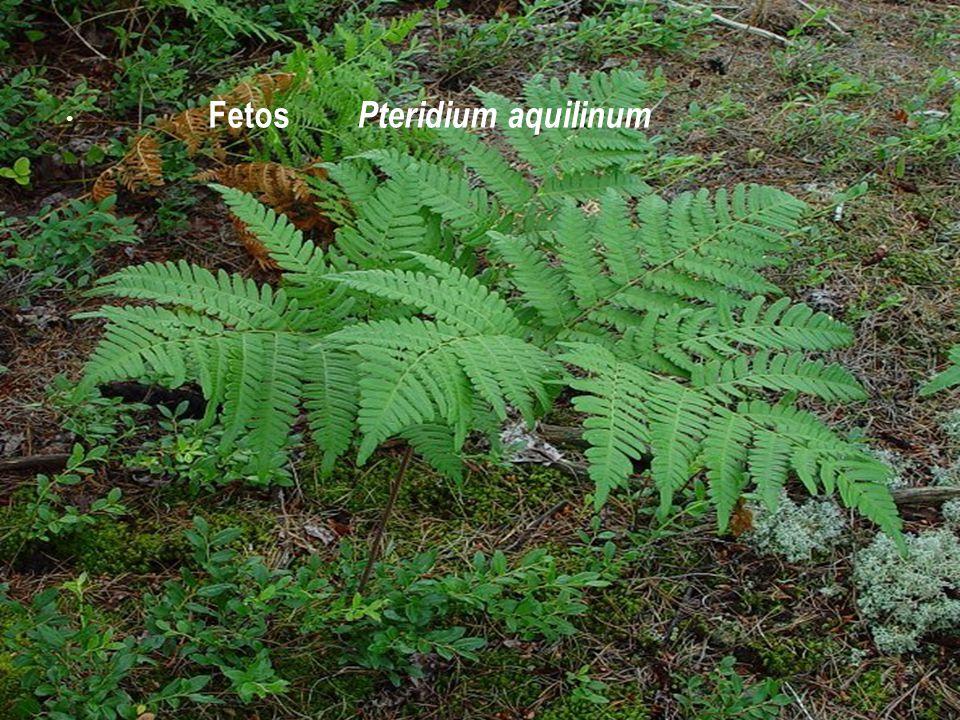 Fetos Pteridium aquilinum