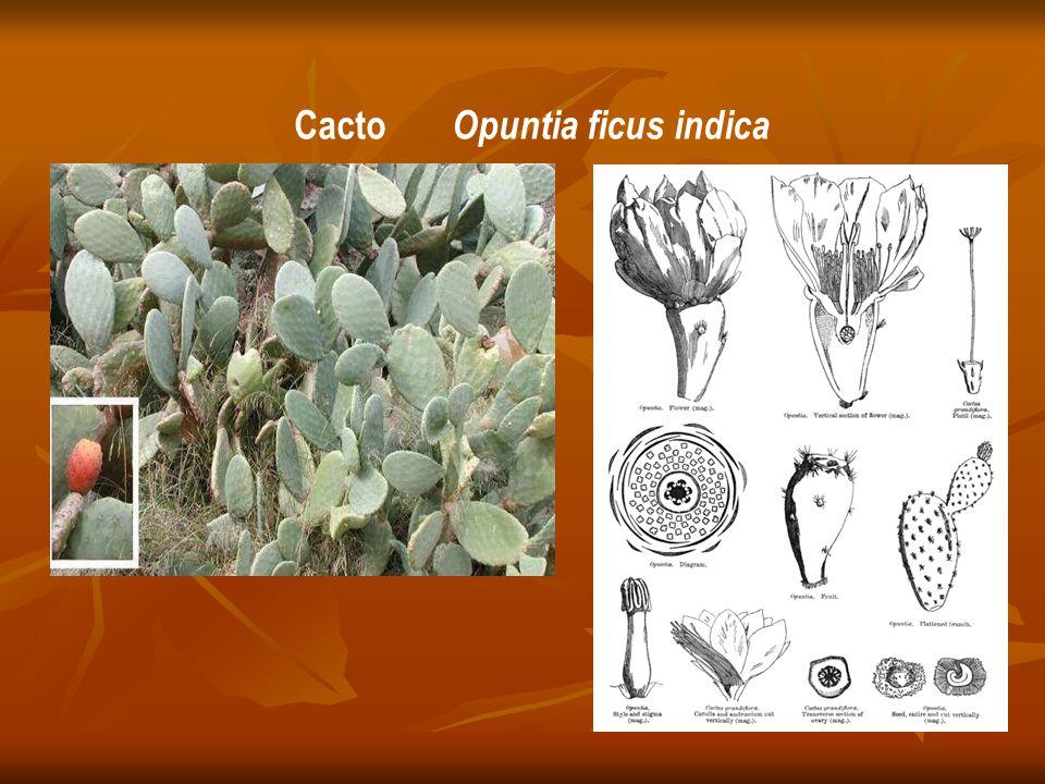Cacto Opuntia ficus indica