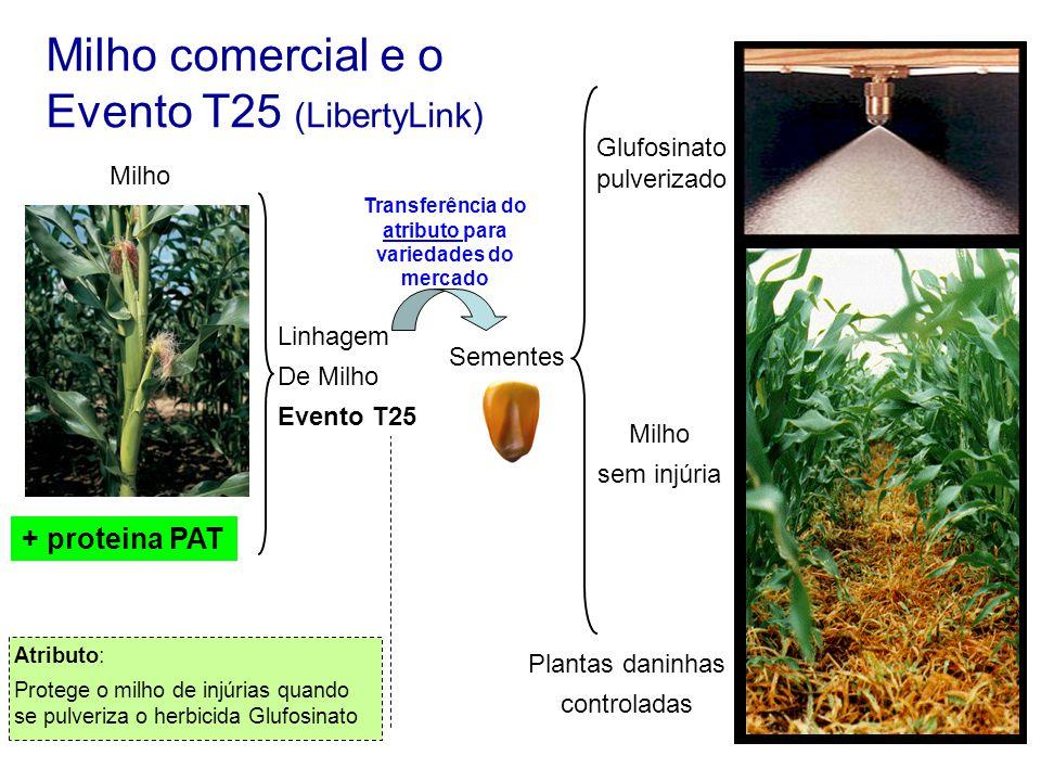Milho comercial e o Evento T25 (LibertyLink) + proteina PAT Milho Linhagem De Milho Evento T25 Transferência do atributo para variedades do mercado At
