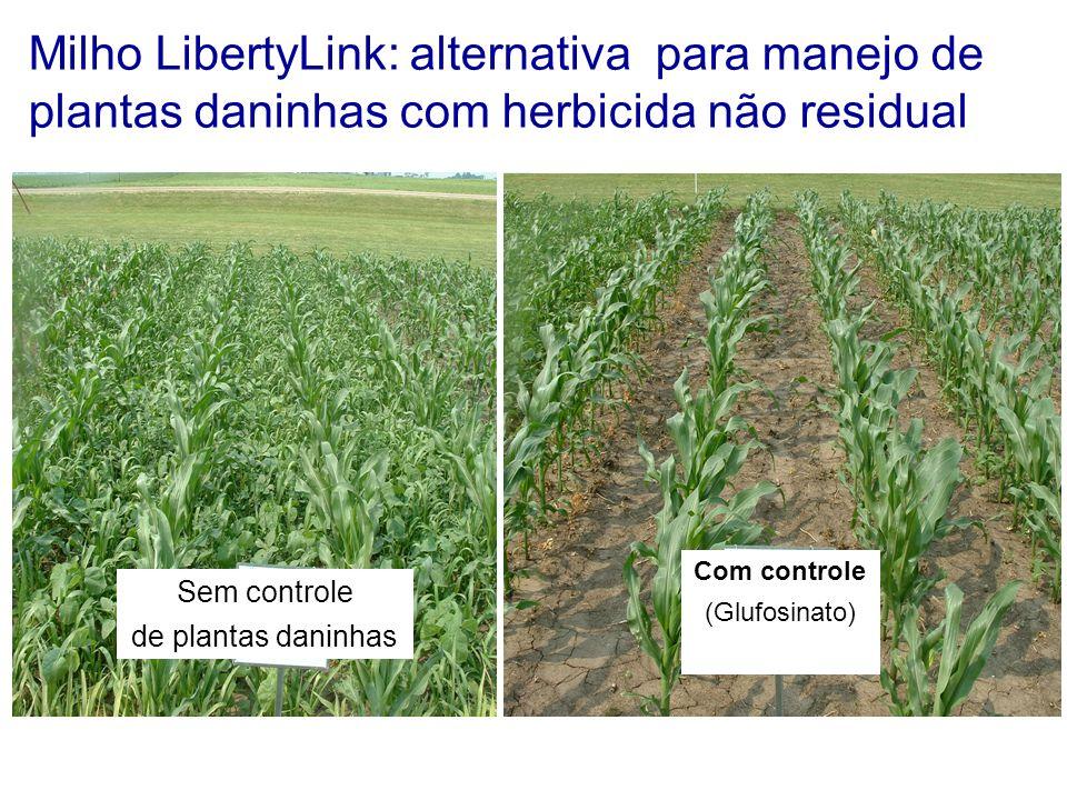 Milho LibertyLink: alternativa para manejo de plantas daninhas com herbicida não residual Sem controle de plantas daninhas Com controle (Glufosinato)