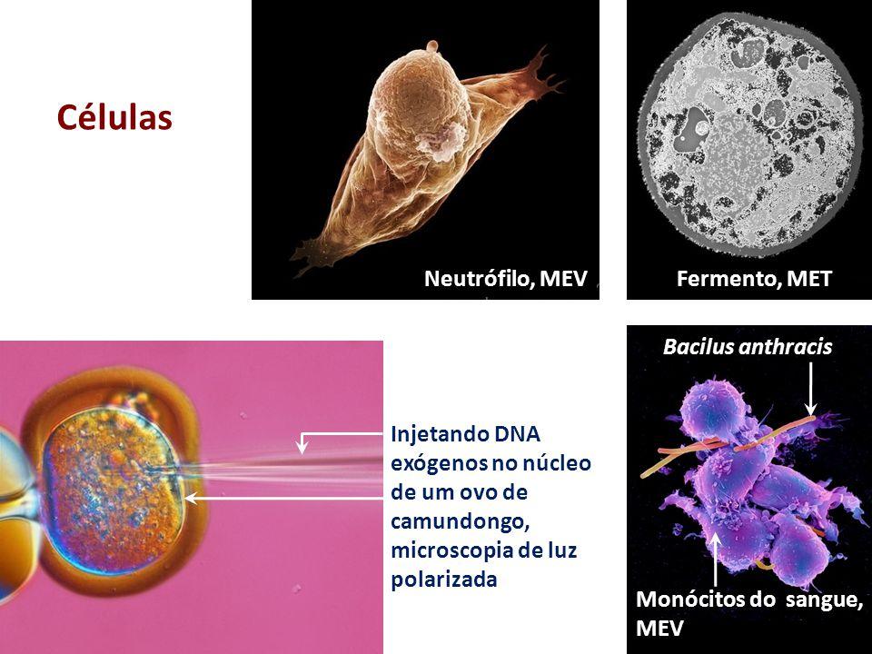 Neutrófilo, MEV Injetando DNA exógenos no núcleo de um ovo de camundongo, microscopia de luz polarizada Monócitos do sangue, MEV Bacilus anthracis Cél