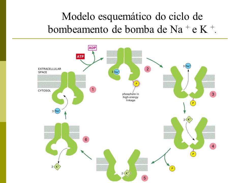 Modelo esquemático do ciclo de bombeamento de bomba de Na + e K +.