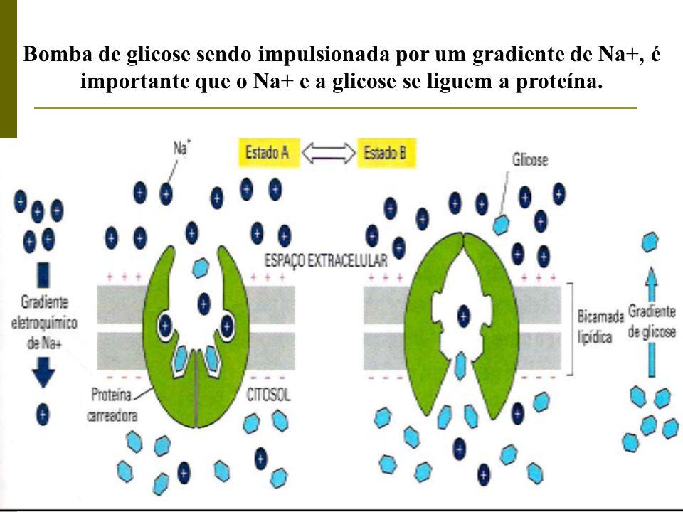 Bomba de glicose sendo impulsionada por um gradiente de Na+, é importante que o Na+ e a glicose se liguem a proteína.