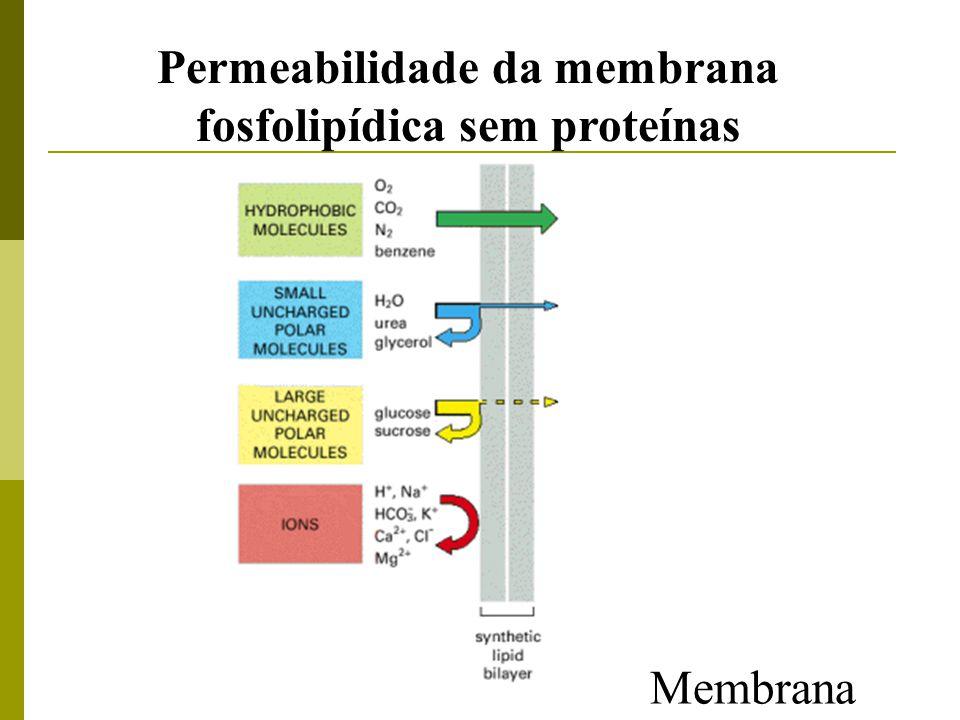 Bicamada lipídica Interior hidrofóbico – moléculas hidrossolúveis atravessam a membrana Nutrientes importados: acúcar e aminoácidos Resíduos expelidos: CO 2, íons ( ) Difusão: CO 2 e O 2 H + Na + K + Ca 2+