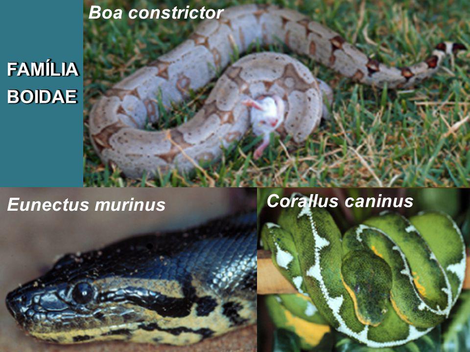 FAMÍLIABOIDAEFAMÍLIABOIDAE Corallus caninus Eunectus murinus Boa constrictor
