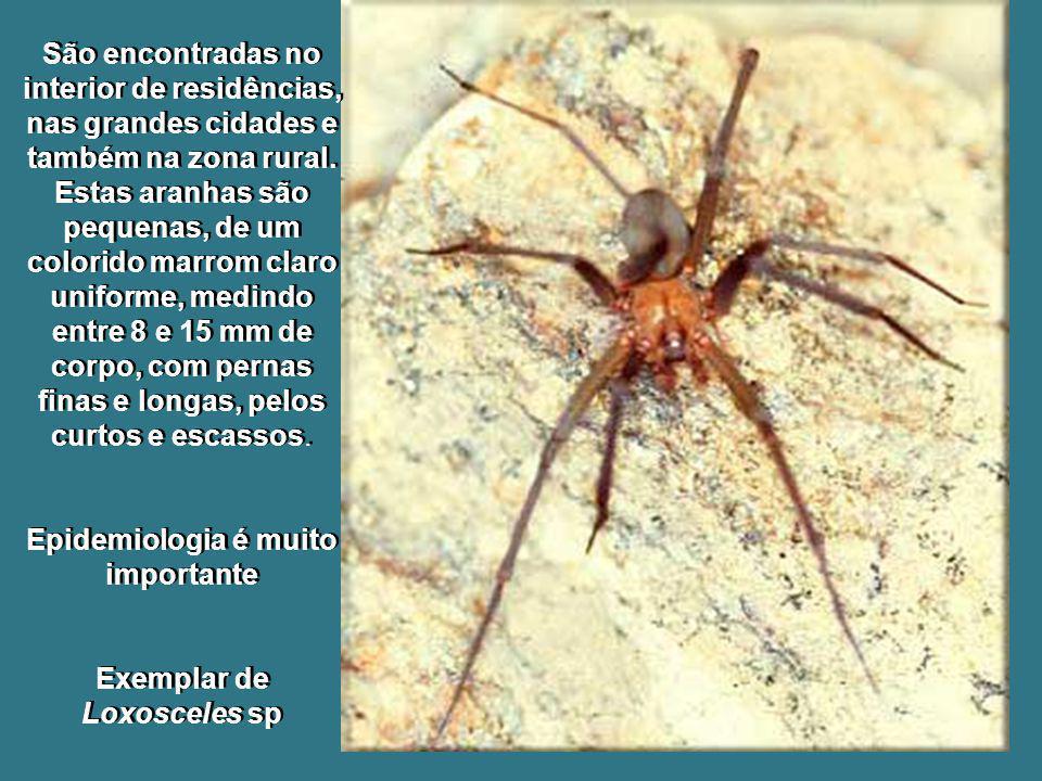São encontradas no interior de residências, nas grandes cidades e também na zona rural. Estas aranhas são pequenas, de um colorido marrom claro unifor