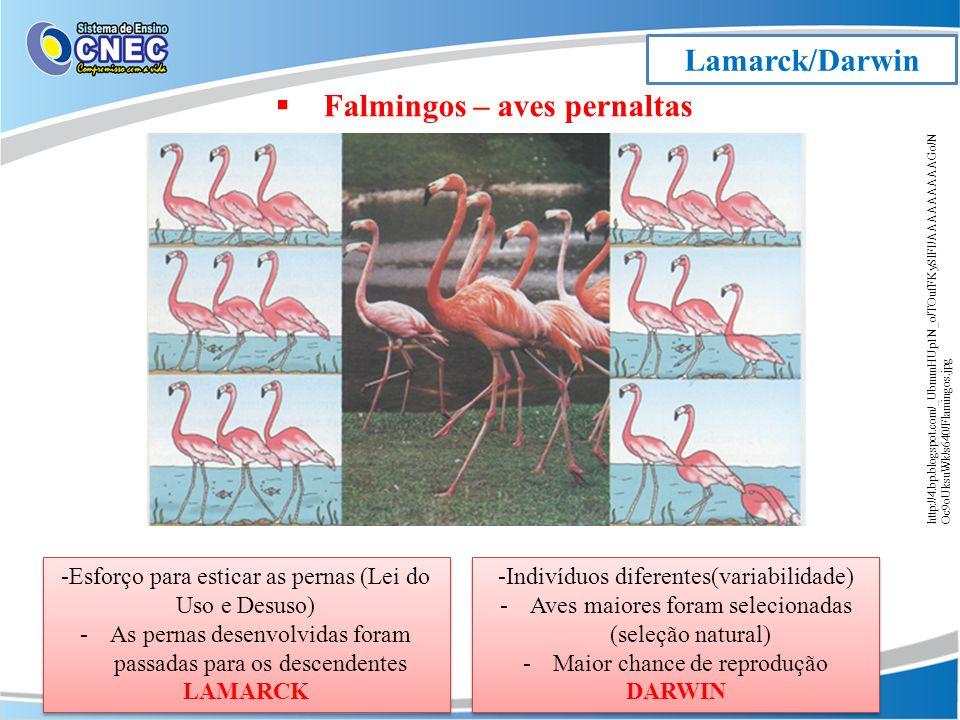 Lamarck/Darwin http://4.bp.blogspot.com/_UbmmHUp1N_o/TOufFKySlFI/AAAAAAAAAGo/N Oc9oUksuWk/s640/Flamingos.jpg Falmingos – aves pernaltas -Esforço para esticar as pernas (Lei do Uso e Desuso) -As pernas desenvolvidas foram passadas para os descendentes LAMARCK -Esforço para esticar as pernas (Lei do Uso e Desuso) -As pernas desenvolvidas foram passadas para os descendentes LAMARCK -Indivíduos diferentes(variabilidade) -Aves maiores foram selecionadas (seleção natural) -Maior chance de reprodução DARWIN -Indivíduos diferentes(variabilidade) -Aves maiores foram selecionadas (seleção natural) -Maior chance de reprodução DARWIN