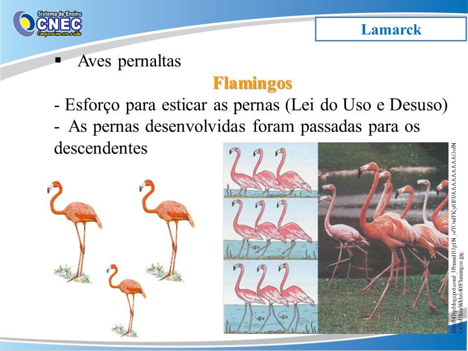 Lamarck Aves pernaltasFlamingos - Esforço para esticar as pernas (Lei do Uso e Desuso) - As pernas desenvolvidas foram passadas para os descendentes http://4.bp.blogspot.com/_UbmmHUp1N_o/TOufFKySlFI/AAAAAAAAAGo/N Oc9oUksuWk/s640/Flamingos.jpg