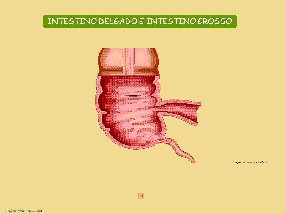 INTESTINO DELGADO E INTESTINO GROSSO Imagem in www.innerbody.com HORÁCIO TAVARES SILVA - 2004