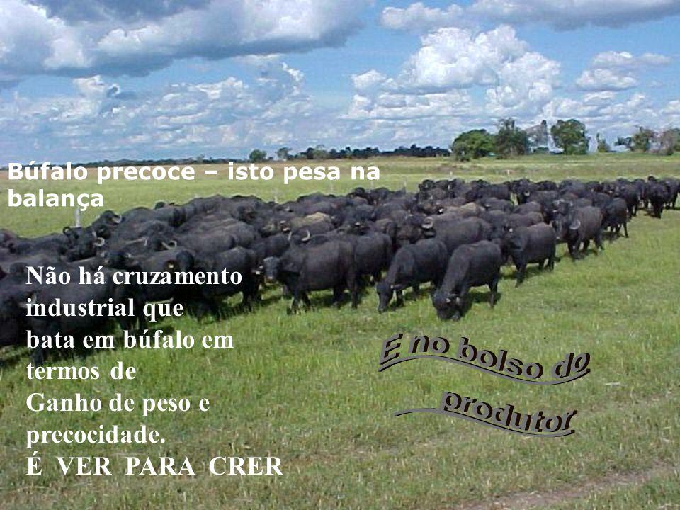 OURO NEGRO..... do FUTURO Comparativos de rentabilidade Búfalo Boi ou outro bovino Fontes Taxa de mortalidade 2,5%4%Rural News Índice de fertilidade 8