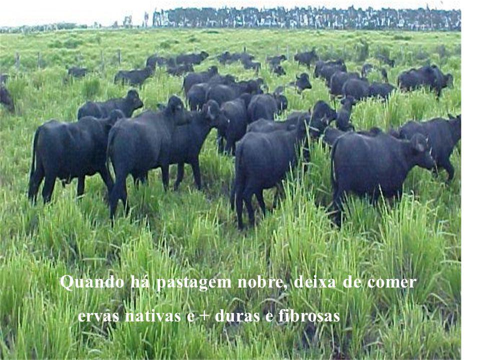 Búfalo Precoce Como ocorre com outros bovinos, o ideal é o abate de búfalos precoces com idade em torno de 18 a 24 meses, quando alcançam bom acabamen