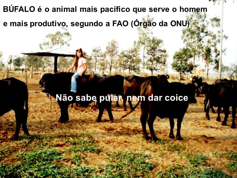 Para se obter um 01 kg. de creme: Só isto: 13,33 ls. leite de búfala Tudo isto: 28,57 ls. de leite de vaca ( bovino) Fonte: Coleção Brasil Agrícola de