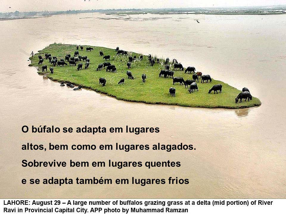 BÚFALO é o animal mais pacífico que serve o homem e mais produtivo, segundo a FAO (Órgão da ONU) Não sabe pular, nem dar coice