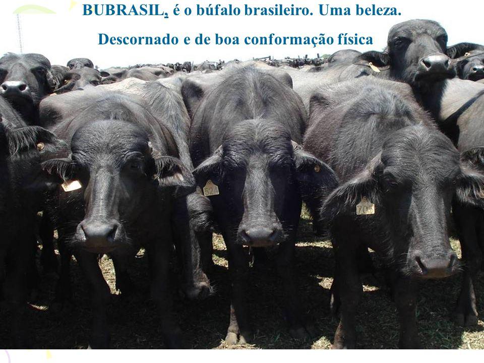 No dia em que o povo for esclarecido a respeito das vantagens do búfalo para a saúde, haverá tanta procura do produto, que a lei da oferta e procura s