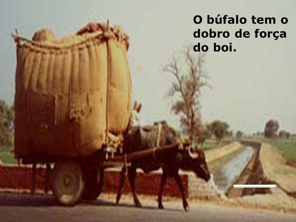 PIRANHAS: Lá no pantanal, as piranhas devoram os tetos das vacas. Mas, o búfalo, cujo couro sendo mais grosso é menos danificado pelos espinhos. Logo,