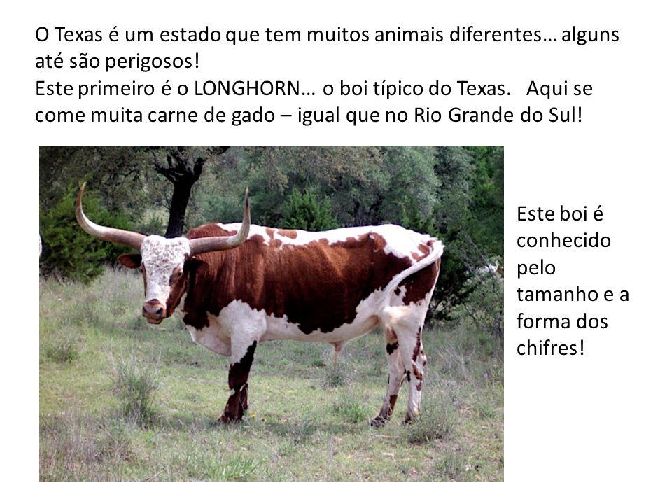O Texas é um estado que tem muitos animais diferentes… alguns até são perigosos! Este primeiro é o LONGHORN… o boi típico do Texas. Aqui se come muita